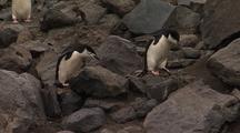 Chinstrap Penguins Traverse Rocky Shore
