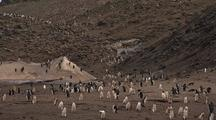 Chinstrap Penguins Traverse Rocky Shore Onto Beach