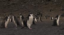 Chinstrap Penguins Along Rocky Shoreline