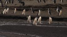 Chinstrap Penguins Along Rocky Shoreline