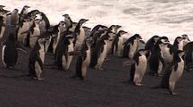 Chinstrap Penguins Enter Water