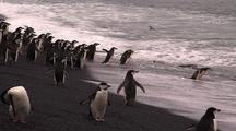 Chinstrap Penguins Enter Ocean