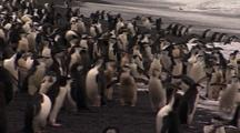 Chinstrap Penguins Exit Ocean