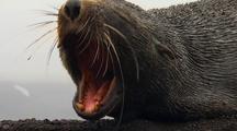 Antarctic Fur Seal Yawns