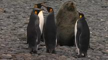 Antarctic Fur Seal Bull Scares King Penguins