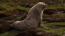 Unusual White Lucistic Fur Seal Bull
