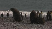 Antarctic Fur Seal Bulls Fighting Amongst King Penguins Along Shore