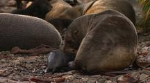 Antarctic Fur Seal And Newborn Pup