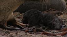 Antarctic Fur Seal And Newborn Pup