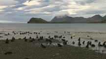 Antarctic Fur Seals Pups Play On The Beach