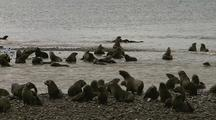 Antarctic Fur Seal Pups Play On The Beach