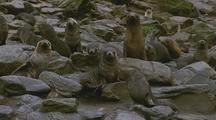 Antarctic Fur Seals And Pups