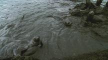 Antarctic Fur Seals Swimming