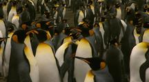 Penguin Colony Stock Footage