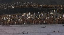 King Penguins And Chicks Along Shore
