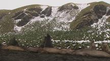 Antarctic Elephant Seals Sparring And Resting