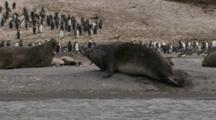 Antarctic Elephant Seals Sparring