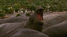 Antarctic Elephant Seal Yawning/ Bellowing