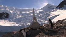 Gentoo Penguins With Whale Vertebrae Near Glacier
