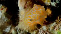 Nudibranch Yellow, Macro