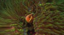 Pink Anenome Fish With Host Anenome