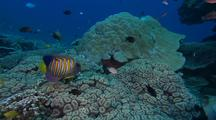 Regal Angel Fish (Pygoplites Diacanthus) Over Coral Outside Hiding Hole