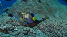 Regal Angel Fish ( Pygoplites Diacanthus ) Over Coral Outside Hiding Hole, Emerges And Disappears