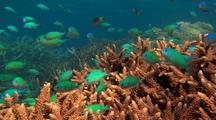 Chromis Fish on Coral