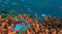 Chromis (blue-green pullers) on coral
