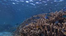 Mixed Stripies & Chromis in shallow coral lagoon under surreal flickering light
