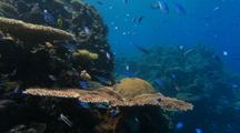 Schooling Small Fish Biodiversity Swarm in Current on Dramatic Reef Edge