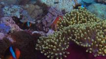 Mixed Anenome Fish With Host Anenome