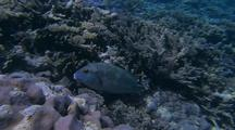 Yellow Spotted Blue Coral Cod Character