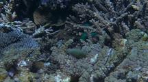 Harlequin Filefish Or Beaked Leather Jacket Amongst Coral