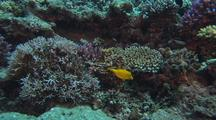 Juvenile Yellow Boxfish And Coral