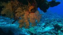 Soft Corals & Sea Fans, Deep Water