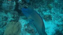 Double-headed, Napoleon, Humphead, Maori Wrasse