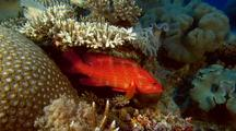 Coral Rock Cod & Leafy Scorpionfish Pair