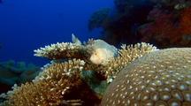Leafy Scorpionfish (Paperfish)