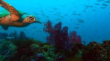 Hawksbill Turtle Swimming Over Softcoral