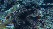 Clam Mantle
