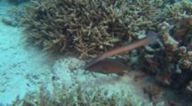 Funny Trumpet Fish Shadow Stalking Coral Trout Behaviour