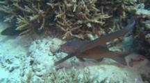 Trumpet Fish Shadow Stalking Trout Behaviour