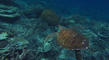 Gliding Behind Green Sea Turtle Swimming Over Coral Reef