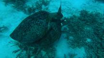 Green Turtles mating Pair