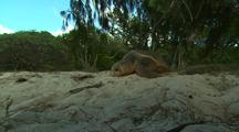 Loggerhead Turtle On Beach After Nesting