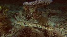 Harmless Epaulette Cat Shark Prowling Around Shallow Reef Bottom At Night