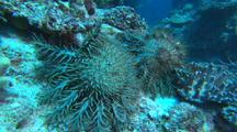 COTS Crown of Thorns Sea Star