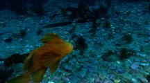 Velvet Handfish