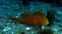 Velvet Handfish On Rubble Bottom